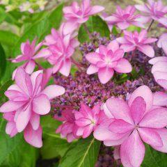 本店の紫陽花